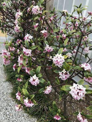 綺麗に咲いた沈丁花